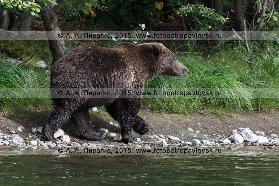 Фотография: камчатский бурый медведь (Ursus arctos piscator) — представитель камчаткой фауны
