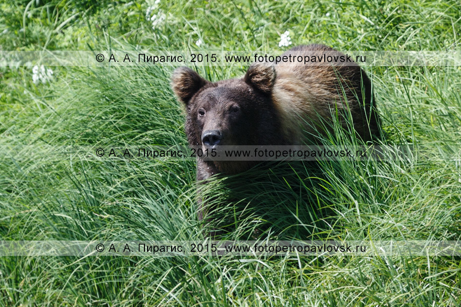 Фотография: камчатский бурый медведь (Ursus arctos piscator). Камчатка