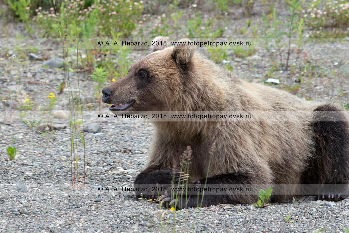 Фотография: камчатский бурый медведь — самый крупный наземный хищник на полуострове Камчатка