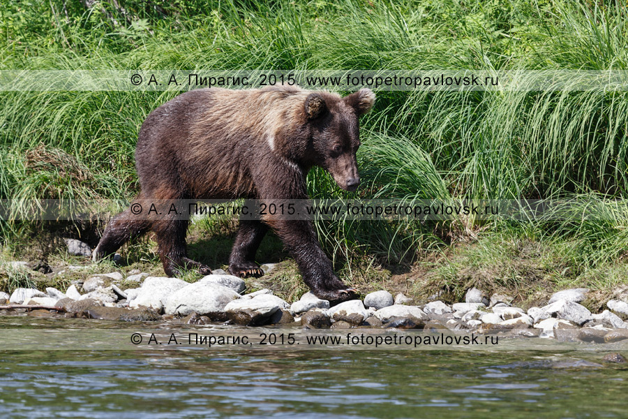 Фотография: молодой камчатский бурый медведь (Ursus arctos piscator) топает по берегу реки. Камчатский край