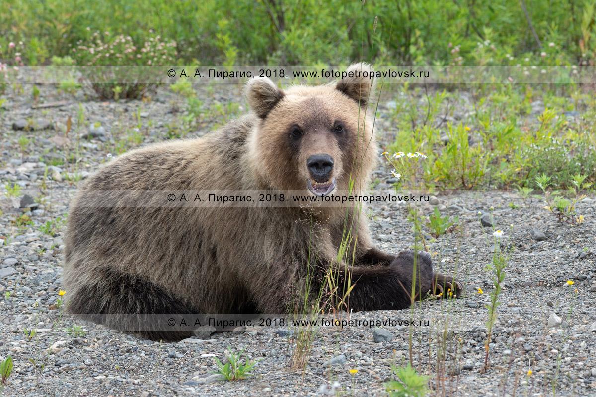 Фотография: молодой камчатский бурый медведь отдыхает на камнях и смотрит в объектив фотоаппарата