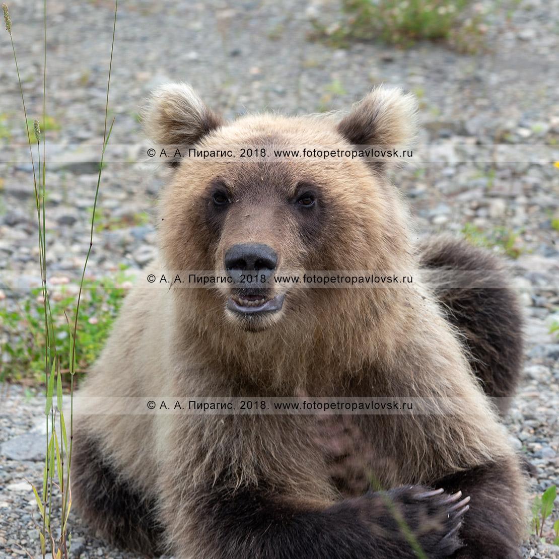 Фотография: портрет молодого камчатского бурого медведя крупным планом