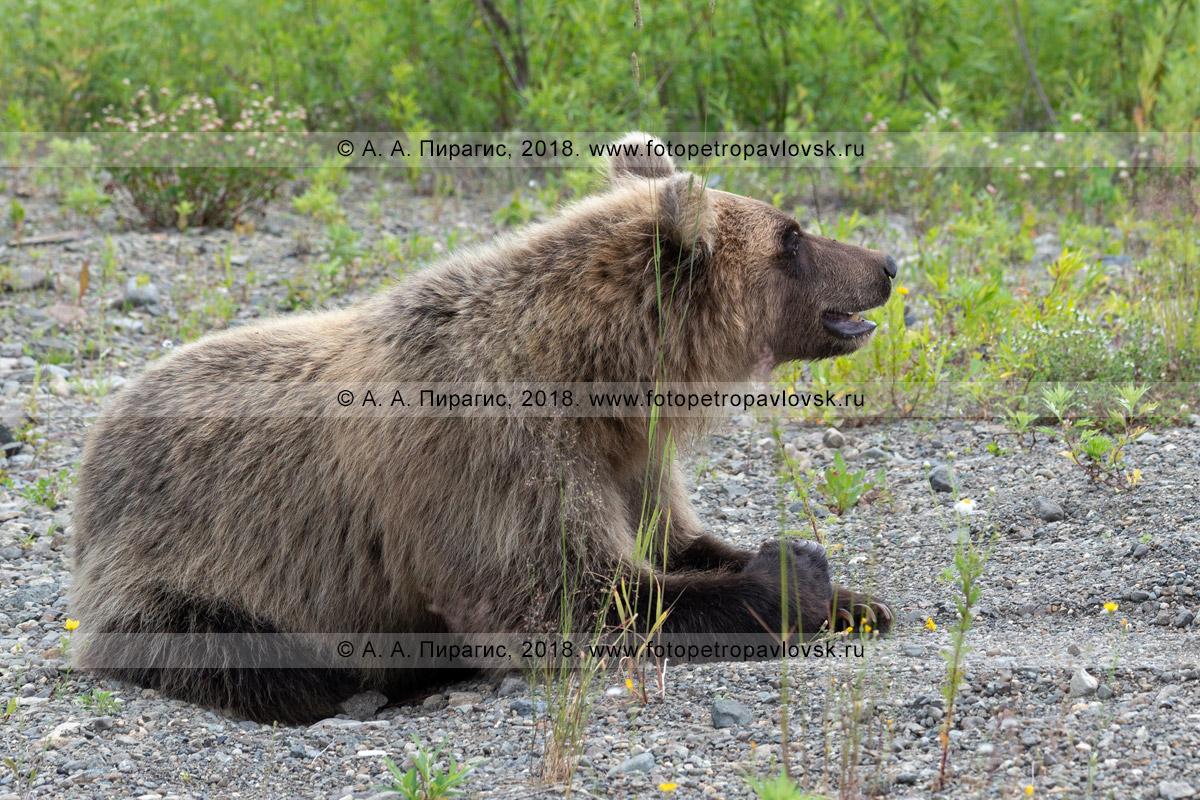 Фотография: камчатский бурый медведь лежит на камнях