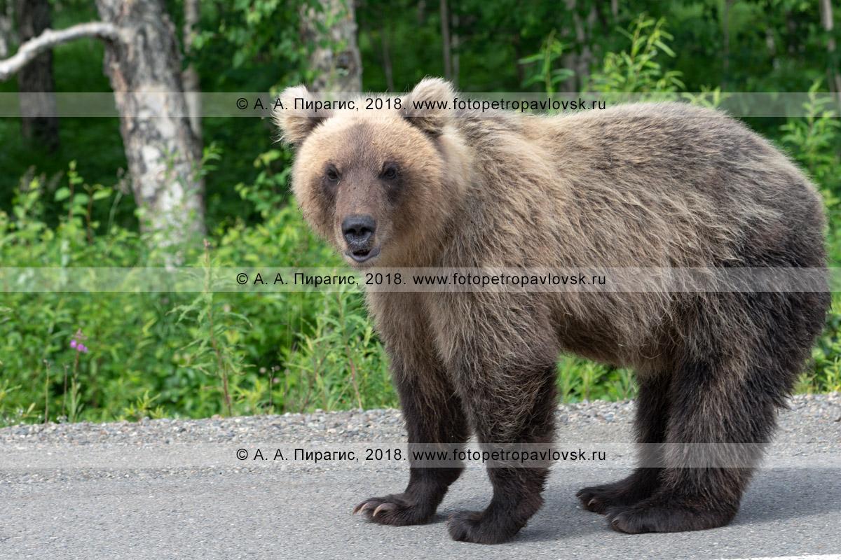 Фотография: молодой камчатский бурый медведь стоит на обочине автодороги