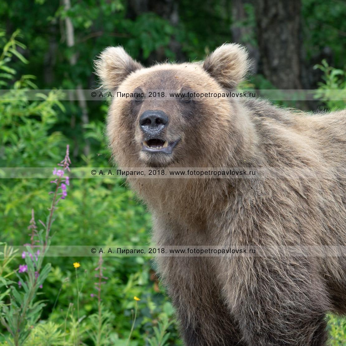 Фотография: летний портрет молодого камчатского бурого медведя крупным планом на фоне зеленого камчатского леса