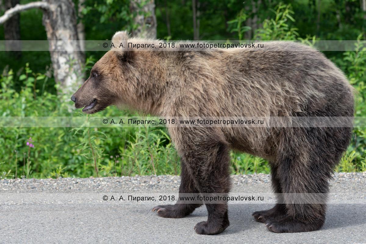 Фотография: камчатский бурый медведь, вид сбоку