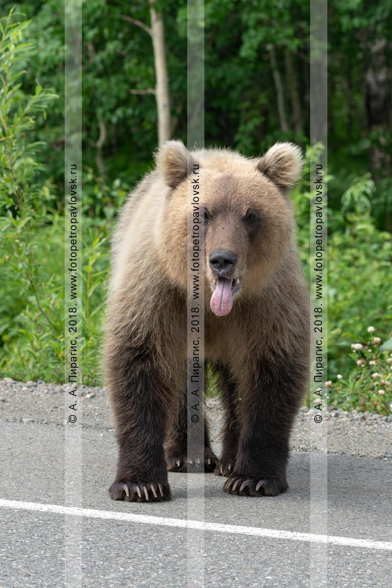 Фотография: высунувший язык камчатский бурый медведь стоит на обочине проезжей части и выпрашивает еду