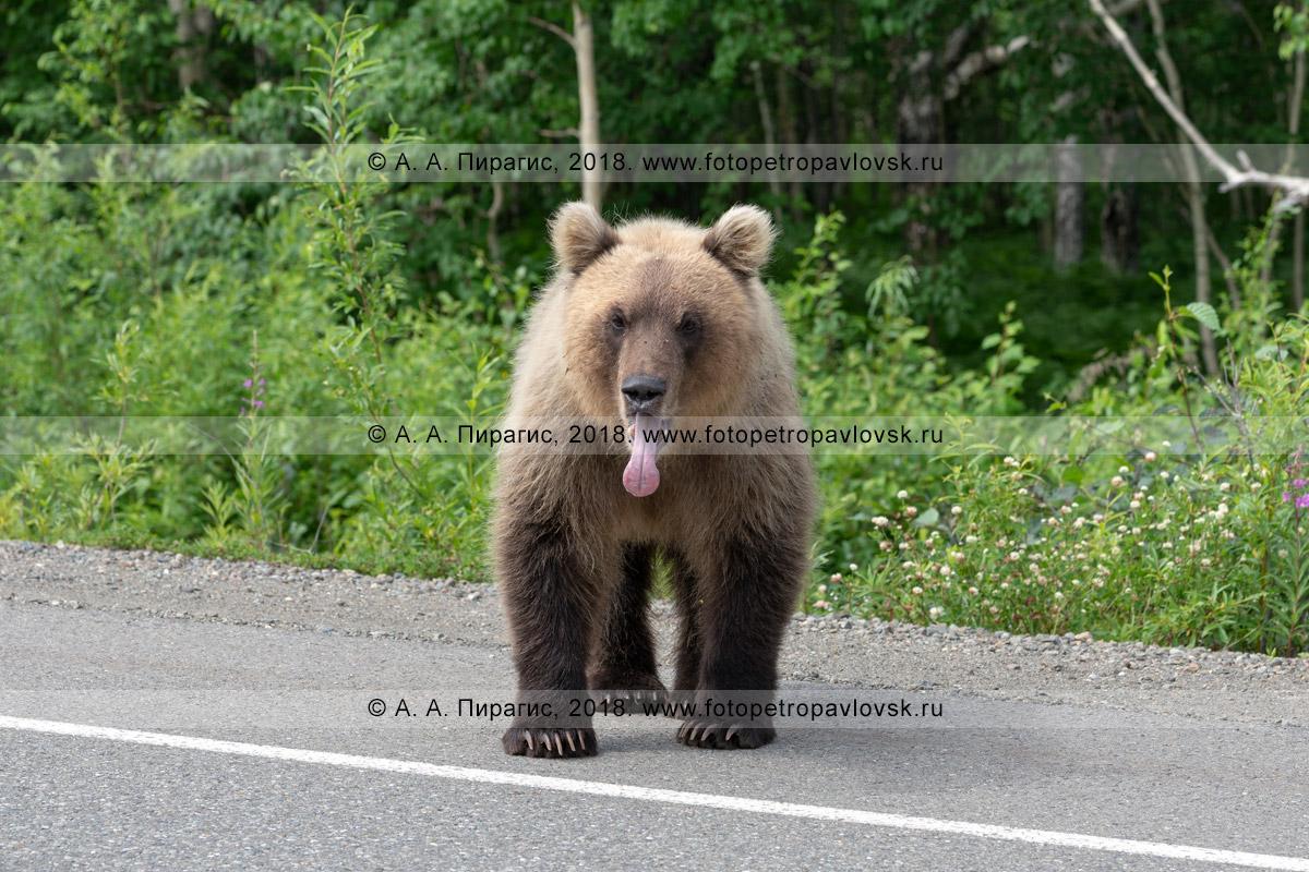 Фотография: камчатский бурый медведь с открытой пастью и высунутым языком стоит на обочине автодороги и попрошайничает еду