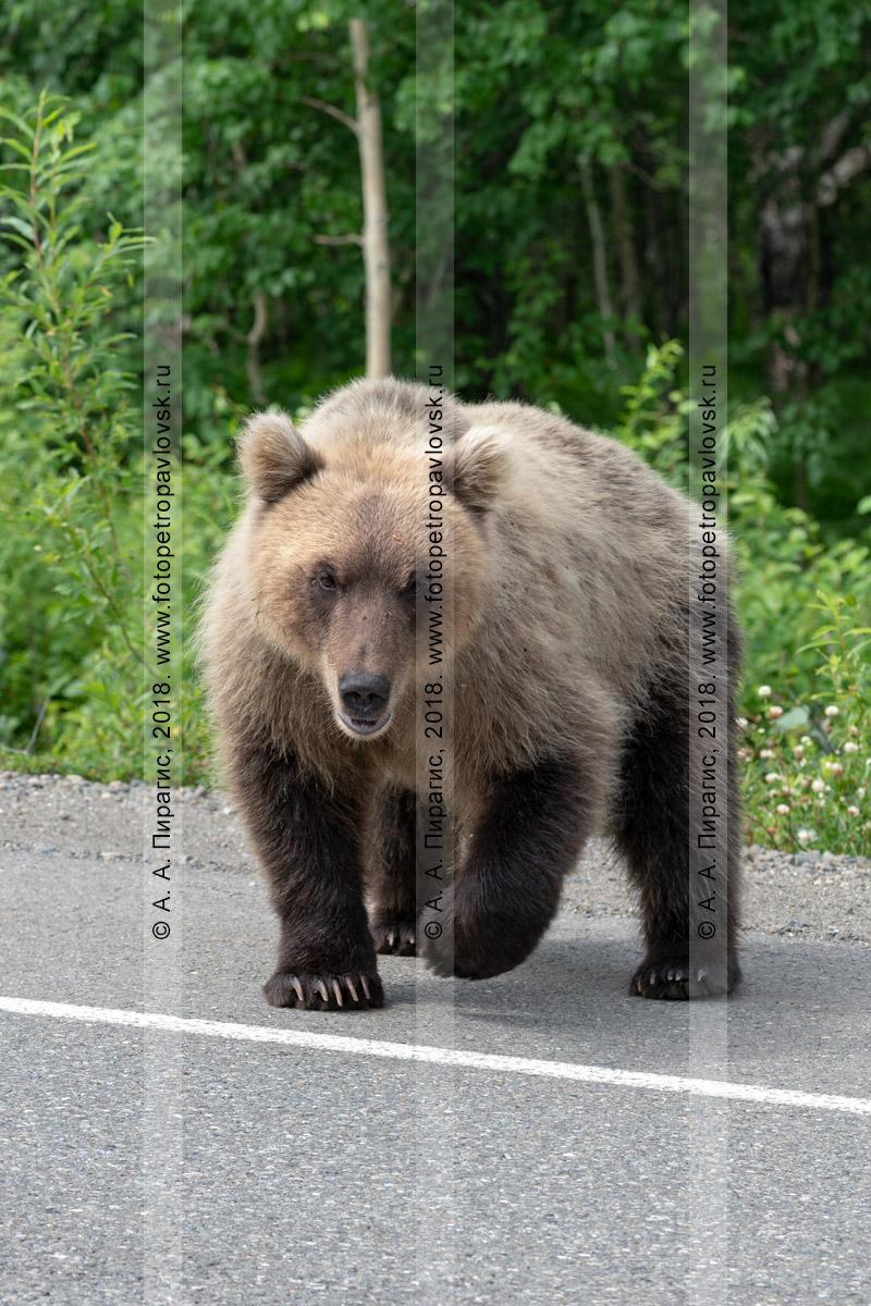 Фотография: камчатский бурый медведь-попрошайка