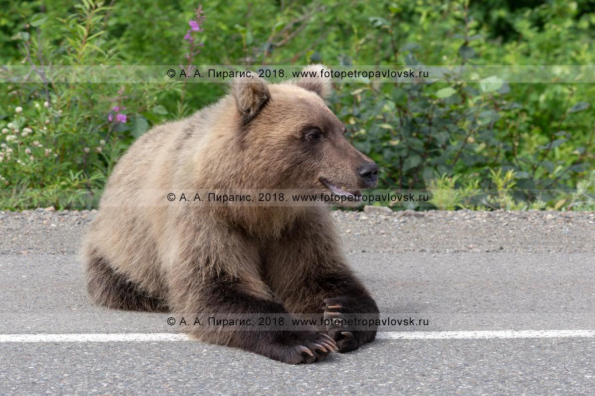 Фотография: камчатский бурый медведь лежит на асфальте автомобильной дороги в ожидании еды от человека