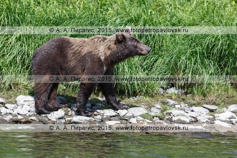 Фотография: камчатский хищник — бурый медведь (Ursus arctos piscator)