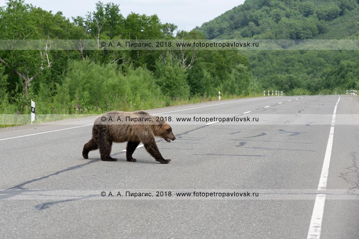 Фотография: камчатский бурый медведь переходит проезжую часть в неположенном месте