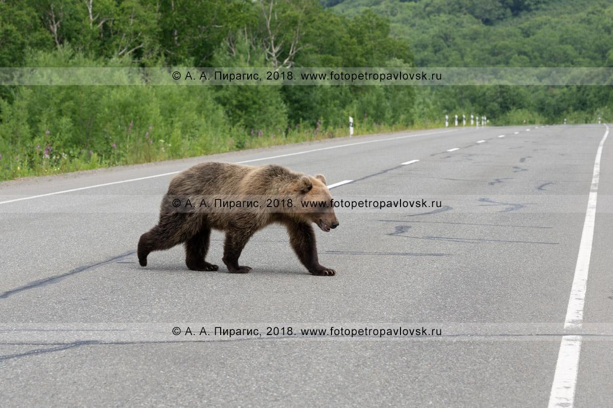 Фотография: камчатский бурый медведь переходит автодорогу вне зоны действия пешеходного перехода