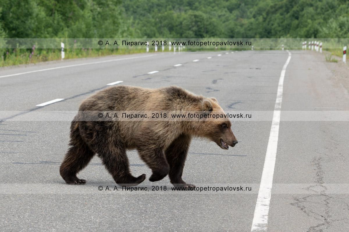 Фотография: молодой камчатский бурый медведь переходит автотрассу, нарушая правила дорожного движения