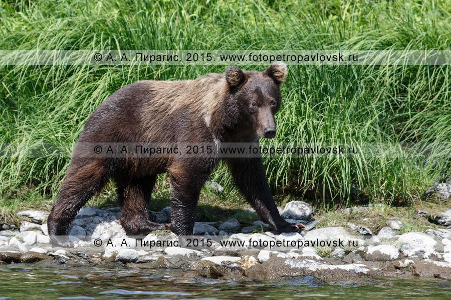 Фотография: хищник полуострова Камчатка — камчатский бурый медведь (Ursus arctos piscator)