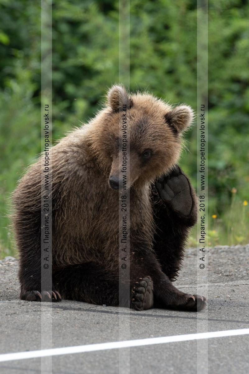 Фотография: молодой камчатский бурый медведь чешет лапой за ухом, сидит на обочине асфальтированной дороги на полуострове Камчатка