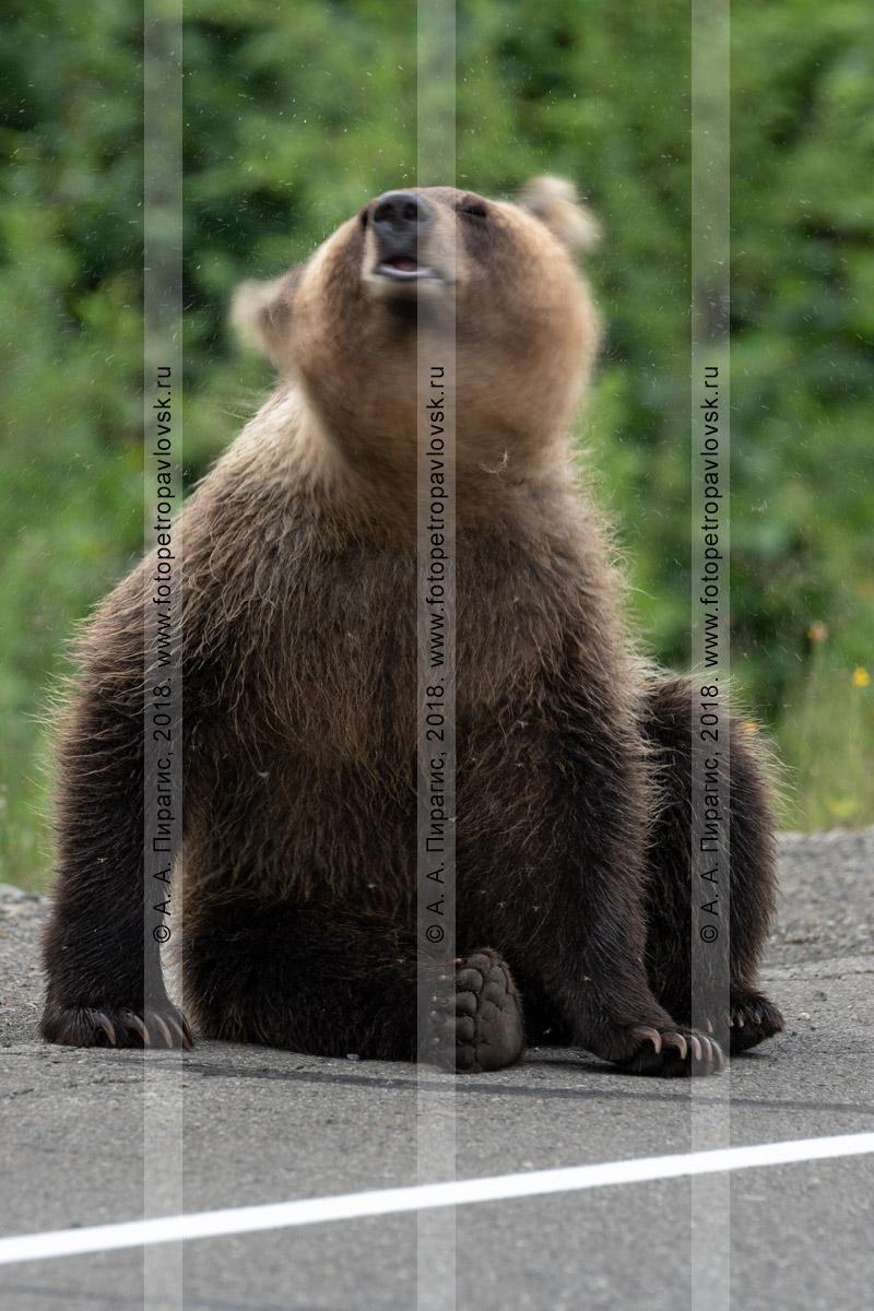 Фотография: молодой камчатский бурый медведь машет головой, отпугивая комаров, сидит на обочине асфальтированной автотрассы на полуострове Камчатка