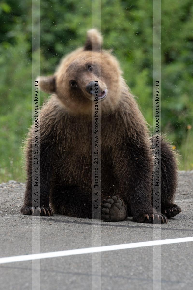 Фотография: косолапый медведь активно трясет головой в разные стороны, скидывает с себя надоедливых кровососущих насекомых