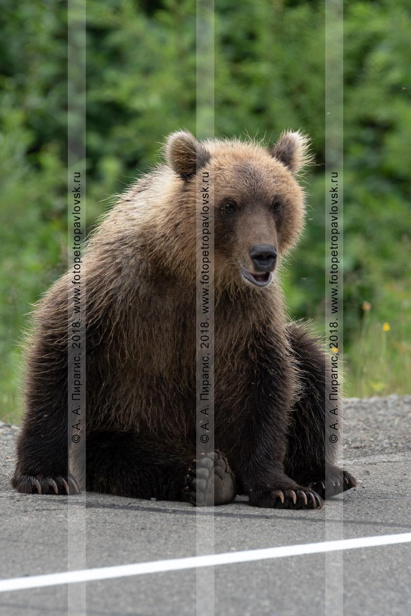 Фотография: молодой дикий бурый медведь сидит вразвалку на краю проезжей части