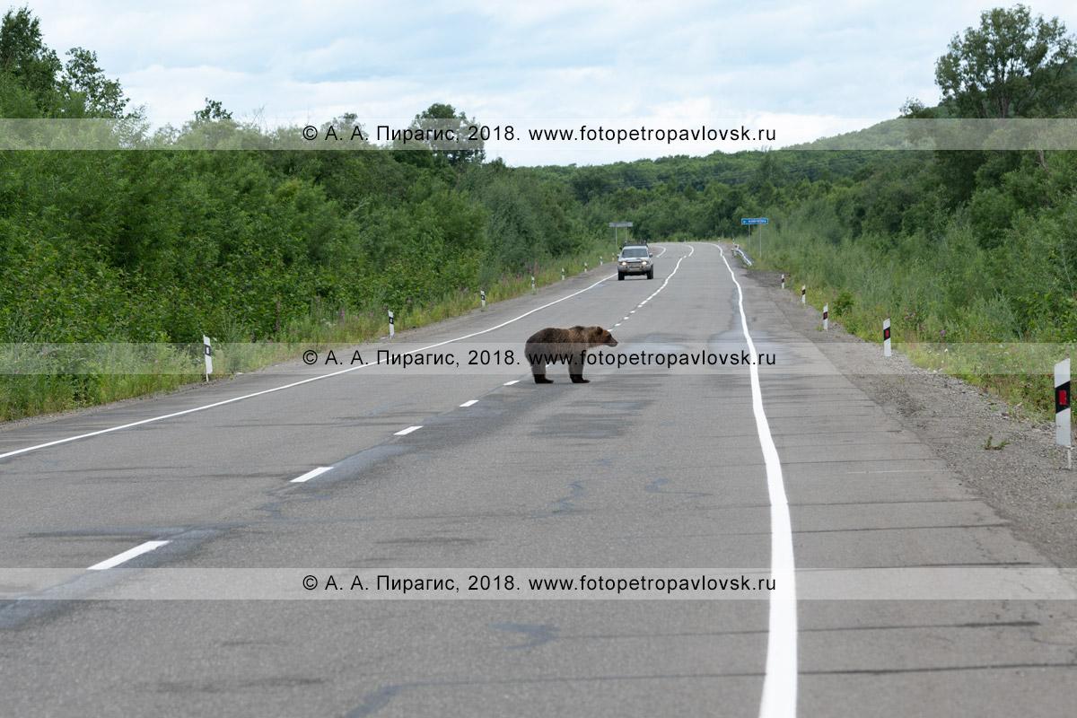 Фотография: камчатский бурый медведь стоит посередине автомобильной дороги