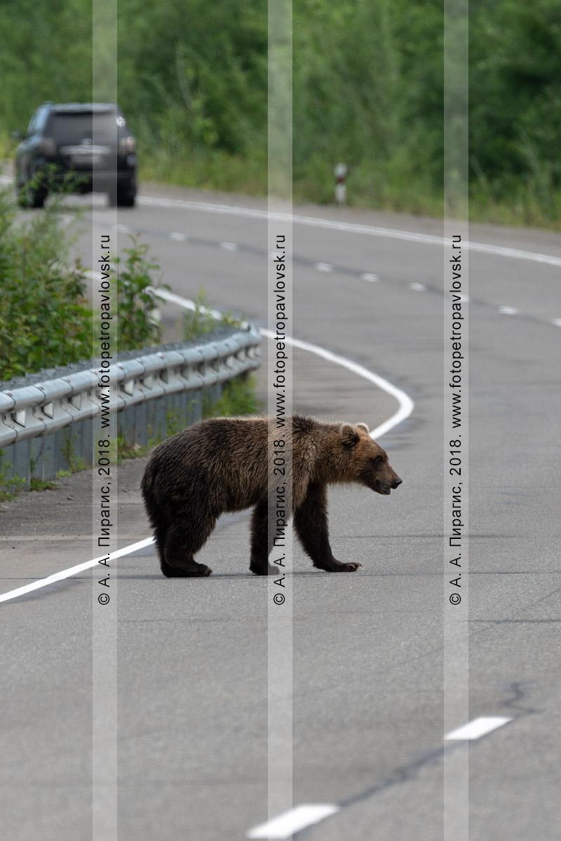 Фотография: молодой камчатский бурый медведь идет по автомобильной трассе на полуострове Камчатка