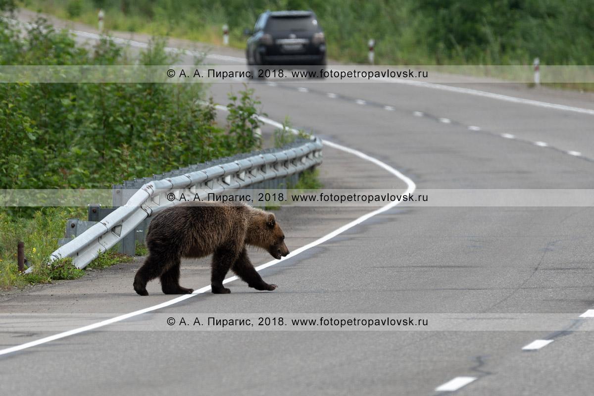 Фотография: голодный камчатский бурый медведь идет по автомобильному шоссе в Камчатском крае