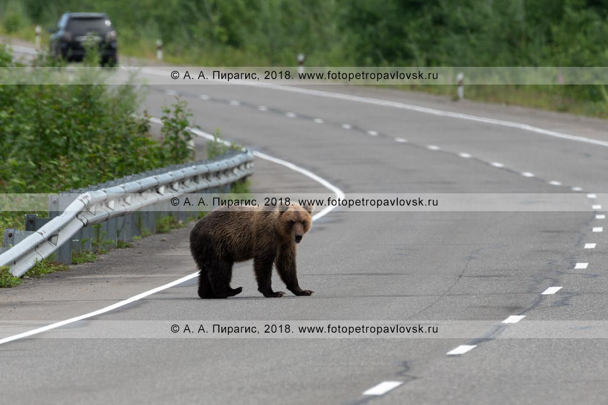 Фотография: камчатский бурый медведь стоит на автодороге