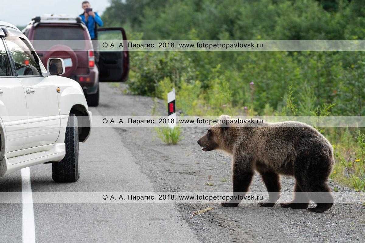 Фотография: прикормленный жителями и гостями полуострова Камчатка голодный камчатский бурый медведь бродит по дороге возле стоящих автомобилей в ожидании вкусной человеческой еды, которую ему дадут люди