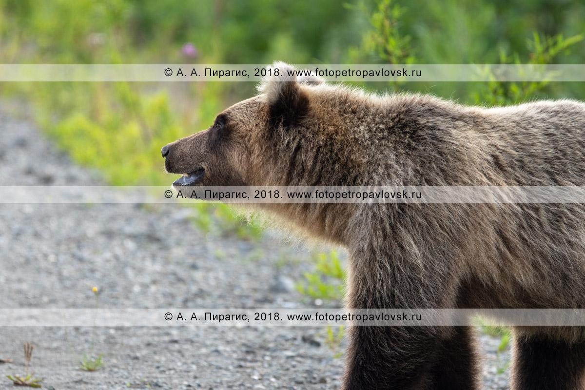 Фотография: дикий камчатский бурый медведь, прикормленный людьми возле автомобильной дороги