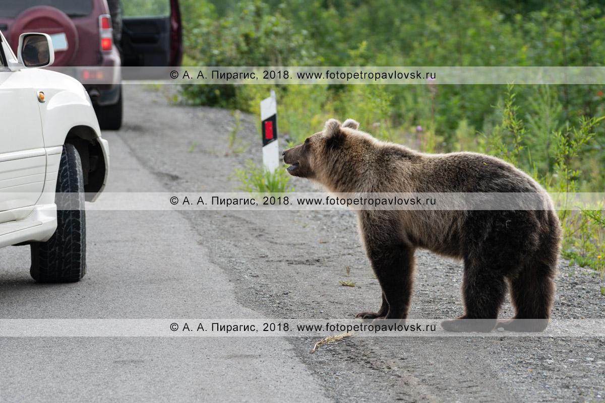 Фотография: дикий камчатский бурый медведь стоит возле автомашины на автотрассе и смотрит в окно автомобиля в ожидании вкусной человеческой еды, которую ему дадут люди