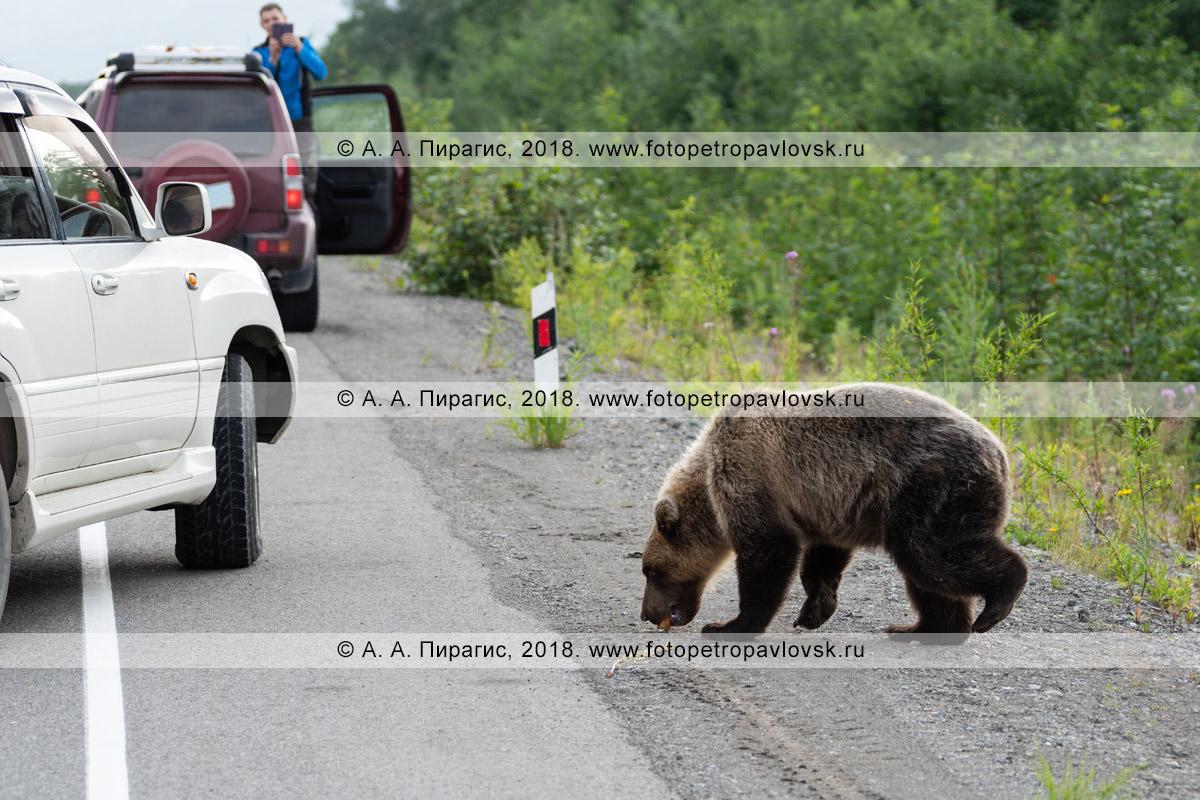 Фотография: дикий камчатский бурый медведь подбирает на дороге пирожок, который ему кинули люди из автомобиля