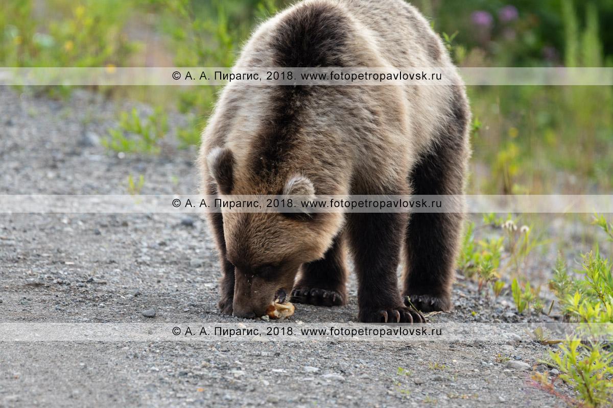 Фотография: молодой дикий камчатский бурый медведь ест пирожок, который ему дали люди