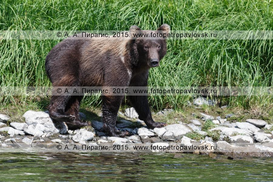 Фотография: фауна полуострова Камчатка — молодой камчатский бурый медведь (Ursus arctos piscator)