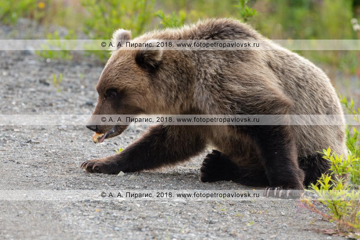 Фотография: дикий камчатский бурый медведь ест пирожок, который ему дали люди