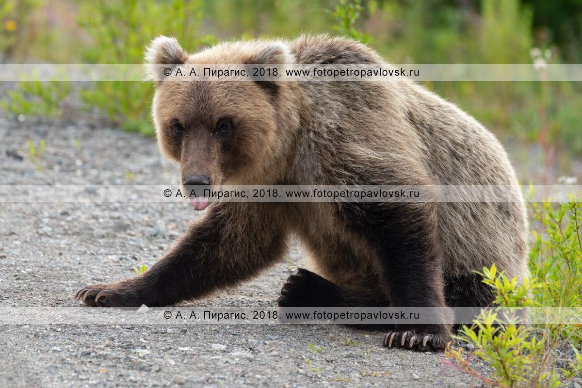 Фотография: молодой дикий камчатский бурый медведь-попрошайка облизывается после съеденного пирожка, который ему дали люди