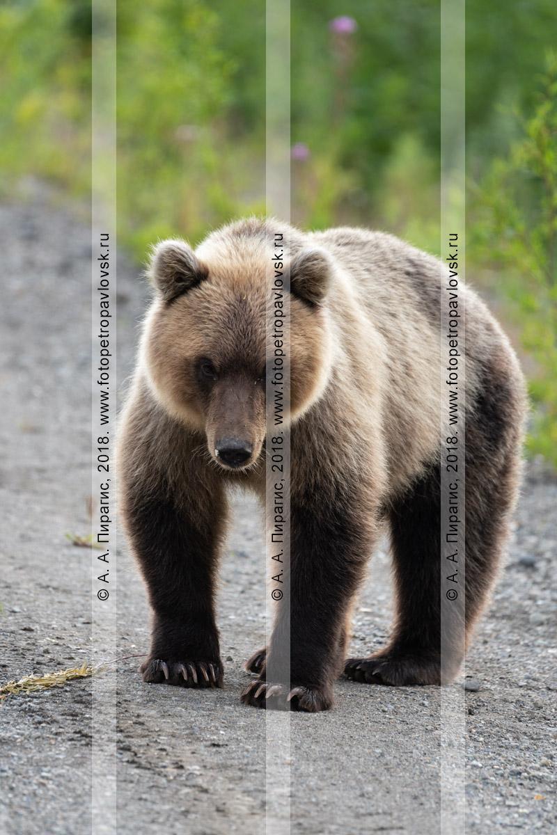 Фотография: голодный камчатский бурый медведь стоит на обочине автомобильной дороги