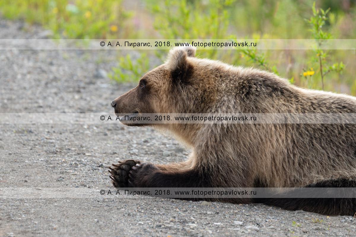 Фотография: молодой голодный камчатский бурый медведь-попрошайка лежит на обочине дороги в ожидании, когда люди подадут ему дармовую человеческую пищу