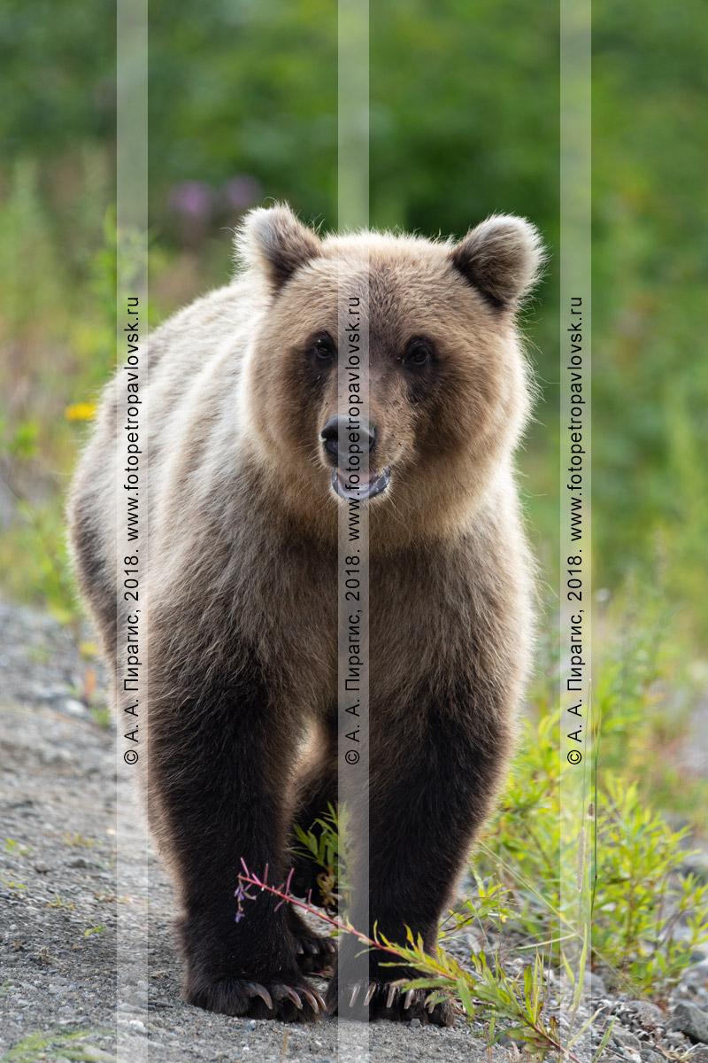 Фотография: голодный камчатский бурый медведь стоит на обочине автодороги в ожидании, когда люди подадут ему дармовую человеческую пищу