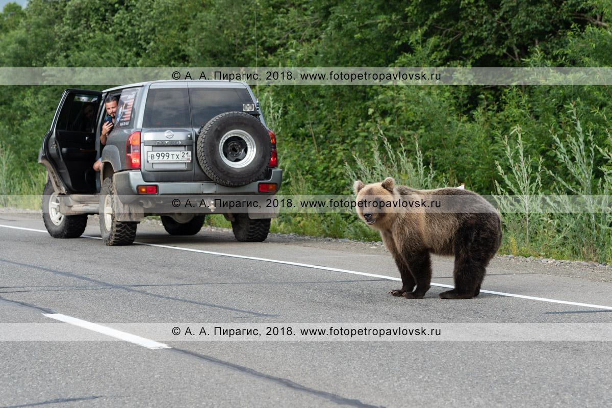 Фотография: прикормленный жителями и гостями Камчатского края дикий камчатский бурый медведь бродит по автомобильной трассе в ожидании вкусной человеческой еды
