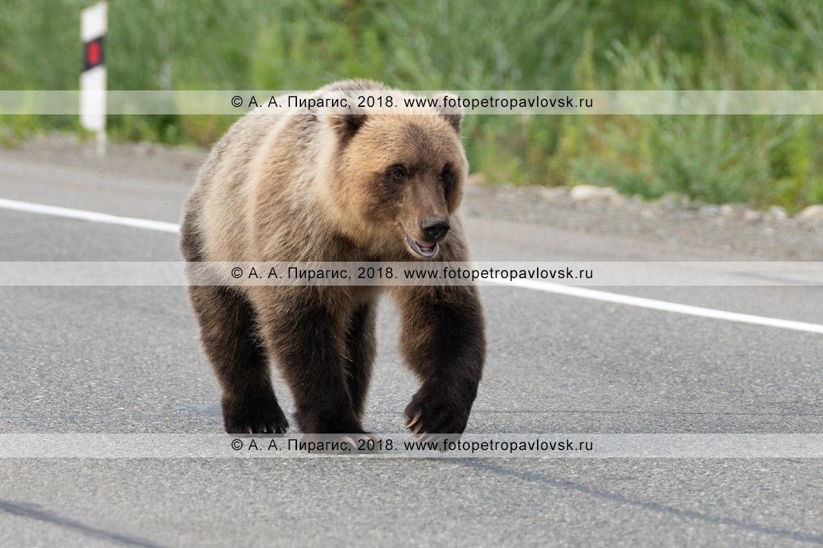 Фотография: прикормленный дикий камчатский бурый медведь идет по автомобильной дороге в поисках вкусной человеческой еды, которую ему дадут люди