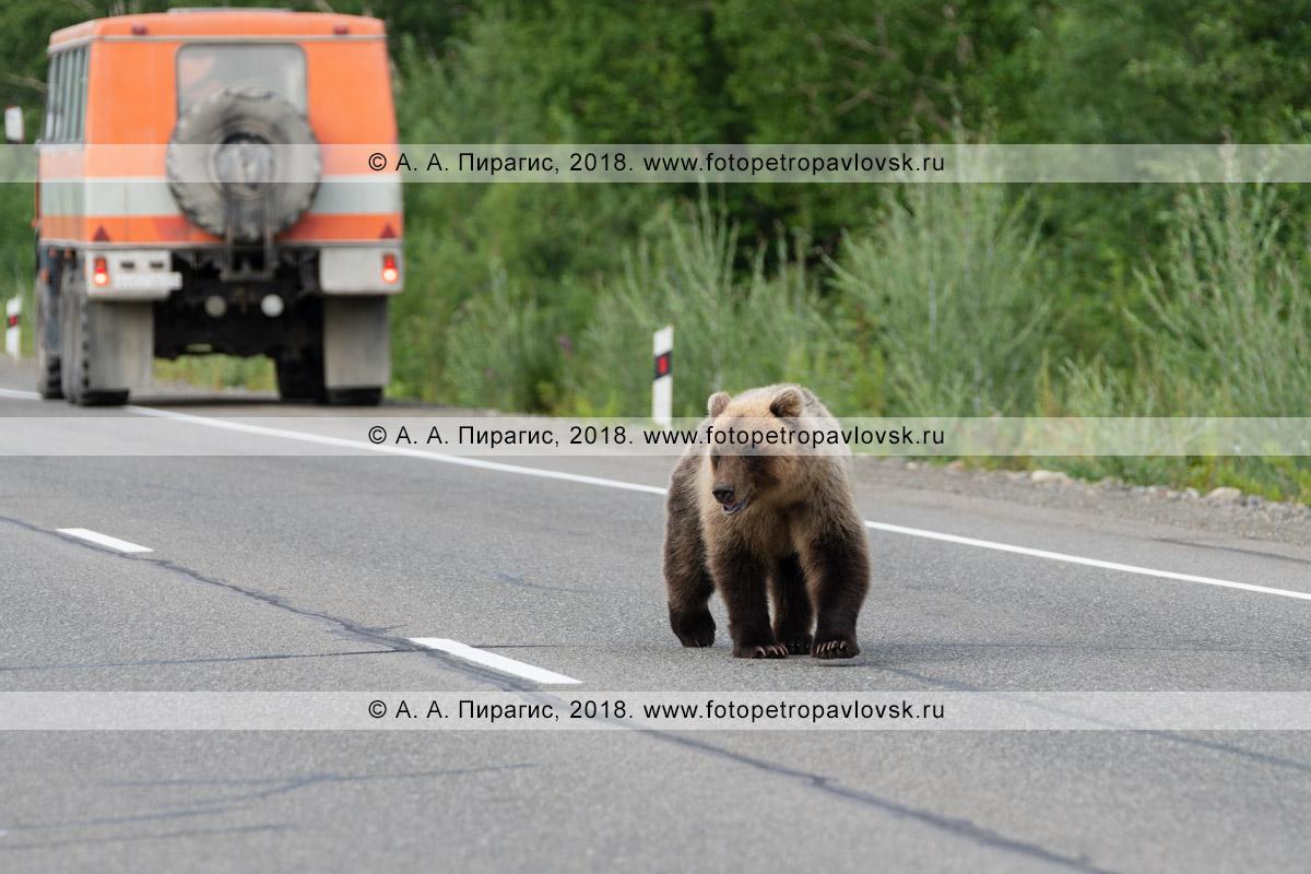 Фотография: прикормленный людьми голодный дикий камчатский бурый медведь идет по автотрассе в поисках дармовой человеческой еды, которую ему дадут люди из проезжающих автомобилей