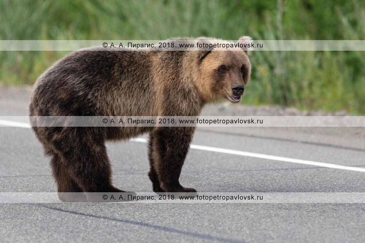 Фотография: прикормленный людьми голодный дикий камчатский бурый медведь стоит на асфальтированной автомобильной дороге в ожидании вкусной и дармовой человеческой еды, которую ему дадут люди из проезжающих автомобилей