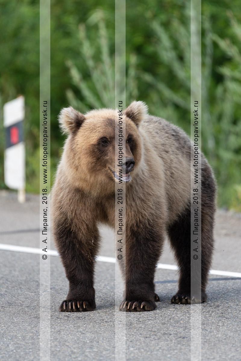Фотография: прикормленный дикий камчатский бурый медведь стоит на автомобильной трассе в ожидании дармовой человеческой еды, которую ему дадут люди из проезжающих автомашин