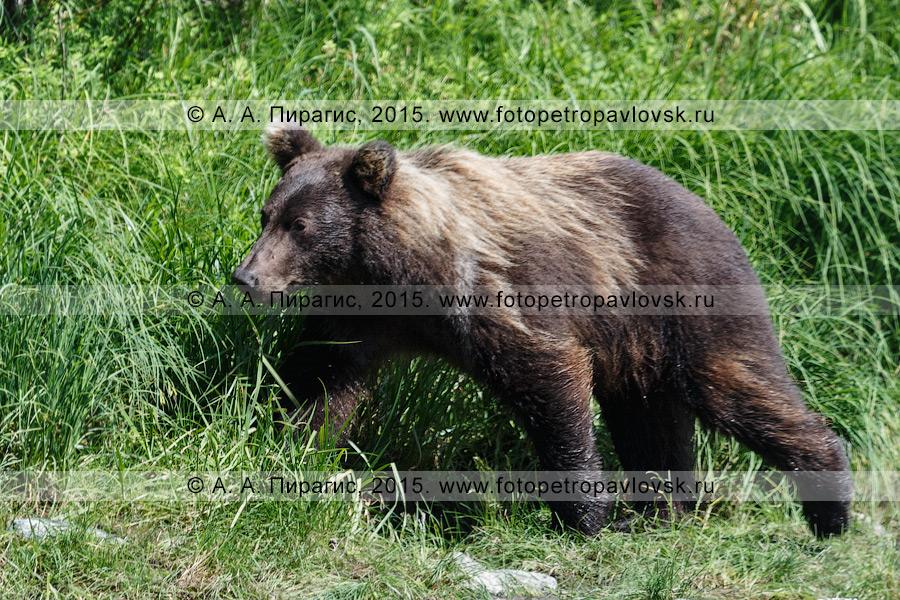 Фотография: фауна Камчатского края — камчатский бурый медведь (Ursus arctos piscator)