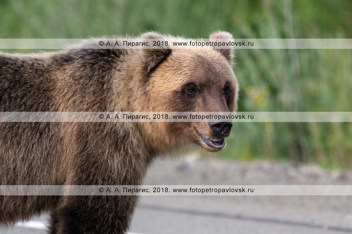 Фотография: портрет голодного дикого камчатского бурого медведя, стоящего на автомобильной дороге в ожидании подачки от людей