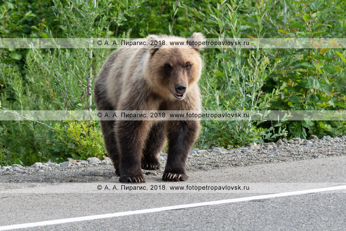 Фотография: голодный дикий хищник — камчатский бурый медведь стоит на дороге и попрошайничает еду у людей