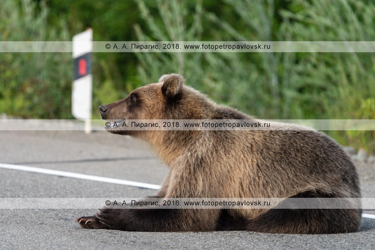 Фотография: прикормленный дикий камчатский бурый медведь лежит на асфальте в ожидании вкусной дармовой человеческой еды, которую ему дадут люди, проезжающие мимо на автомобилях