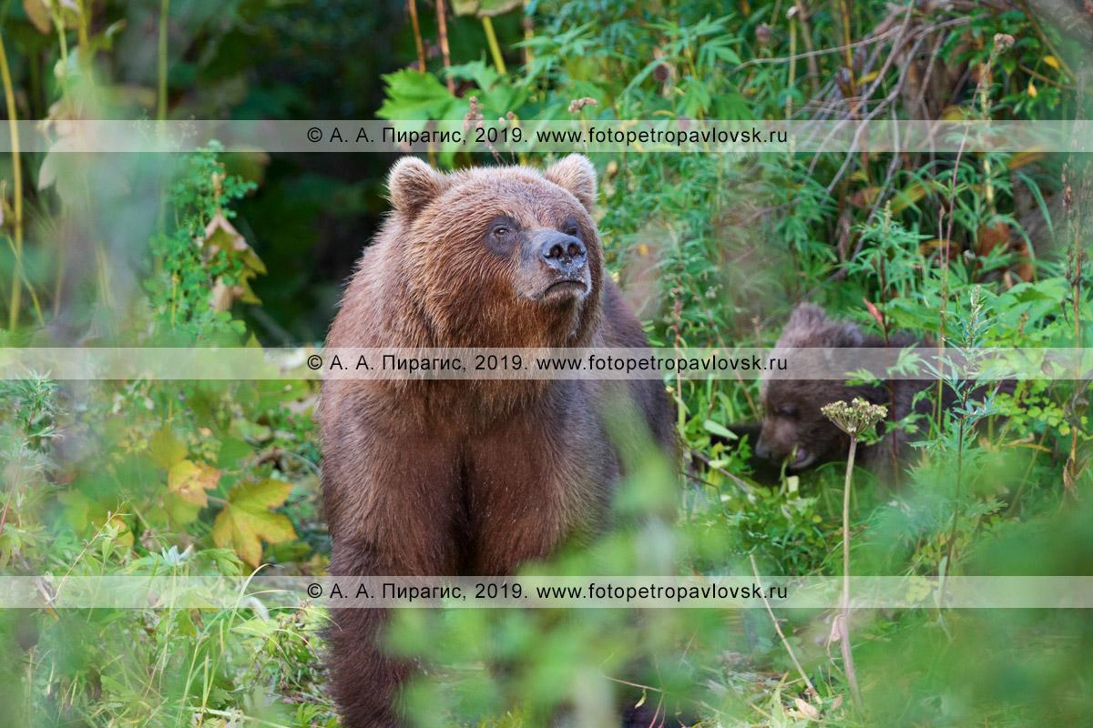 Фотография: камчатская бурая медведица выглядывает из летнего камчатского леса