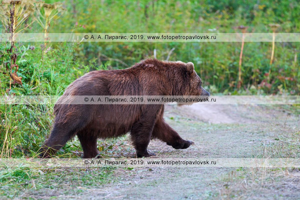 Фотография: дикая камчатская бурая медведица идет по проселочной дороге в летнем лесу на полуострове Камчатка