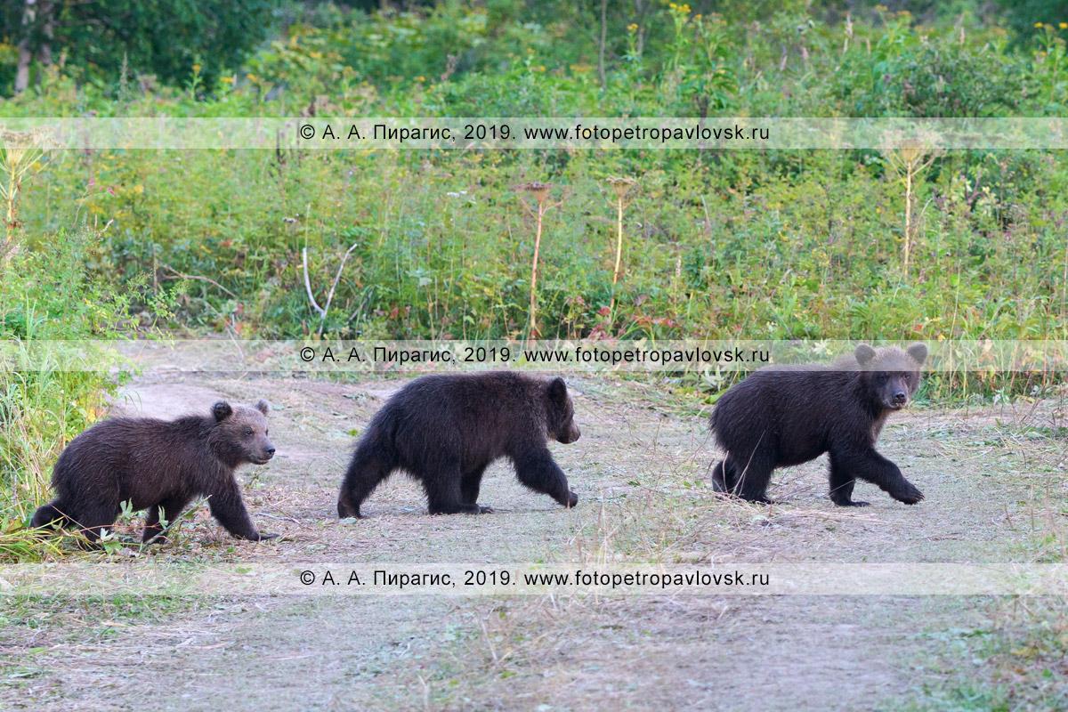 Фотография: три милых камчатских бурых медвежонка бегут по проселочной дороге на полуострове Камчатка